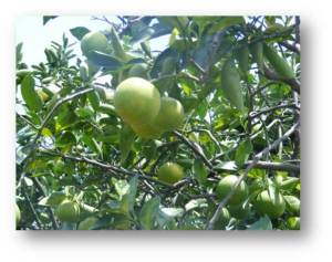 wisata buah villa batu